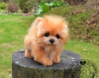 Puppy spitz pomeranian ( About 7.9 inches)