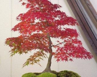2 bonsai maple seeds