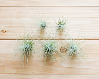 Tillandsia Fuchsii, 5 Pack, Small Air Plants, Terrarium Air Plant, Air Plant Gift, House Plant, Gift for Her, Home and Garden, Home Decor