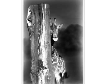 A4 Photo poster black & White Giraffe