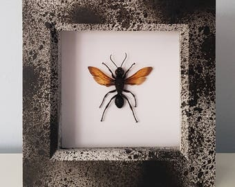 Real Taxidermy - Hymenoptera Wasp