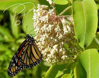 Photograph  - Monarch On Milkweed 12.5x15 - Print