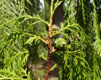 200 Seeds Cupressus torulosa, Himalayan Cypress, Bhutan Cypress