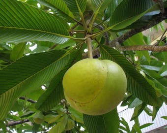 100 Seeds Dillenia indica ,Elephant Apple, Indian catmon, Hondapara Tree, Ma-tad