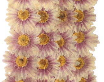 Pressed flowers, large daisy 20pcs for floral art, craft, card making, scrapbooking