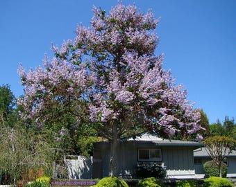 Royal Empress Tree Seeds Paulownia tomentosa 25 Seeds