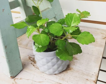 "Wax Swedish Ivy Plant 2"""