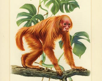 Vintage lithograph of the bald uakari from 1956