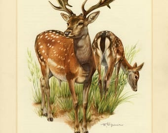Vintage lithograph of the fallow deer from 1956