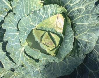 Giant Cabbage Seeds - Approx 100 Seeds - TheGreenGroup Eco-Products - Non GM - High Quality - Huge Yield - UK Seller