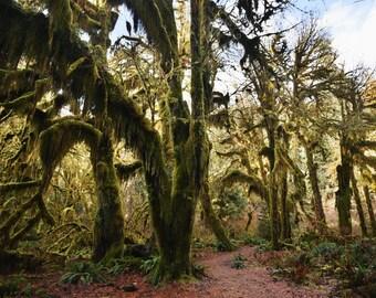 Hoh Rainforest Olympic National Park   Washington   Fine Art Print