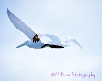 Pelicans Flight