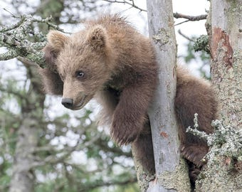 Autographed Glossy Image of Baby Brown Bear in Tree