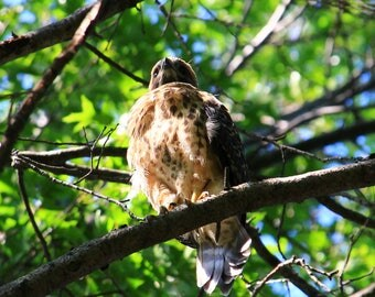 Some of the most beautiful creatures in nature, red tailed hawks