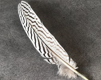 1 large white and black silver pheasant feather