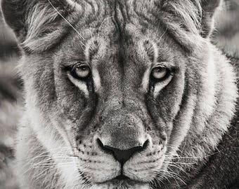 Art portrait poster of a lioness in black and white look on 30x45cm