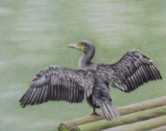cormorant colored pencil drawing