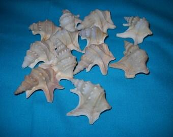 Pelican's foot shells - lot of 12