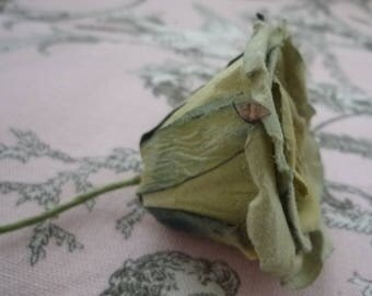 Small green rose faded and its green leaf