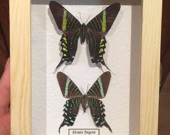 Genuine stuffed Butterflies Urania Fulgens real-frame-collectibles-specimen-Taxidermy-Collectible