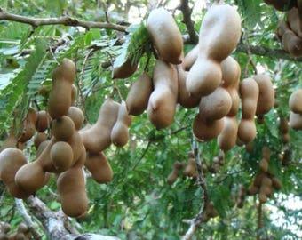 Seeds of Tamarind or Tamarindus indica Tree for Growing Sowing