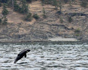 Baby Orca Breach - San Juan Island, Washington