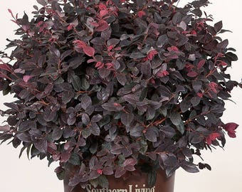 Southern Living Loropetalum Red Diamond