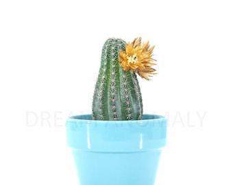 Cactus Strawflower On White