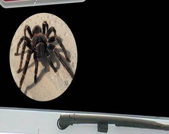 Tarantula Spider on Desert Sand
