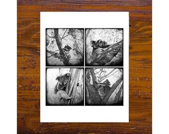 Print - [Mon-53] - BW Koalas