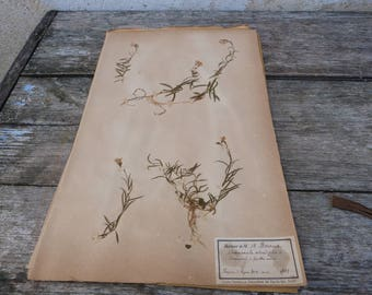 Antique-1887-1889-French-herbarium Campanule à feuilles rondes