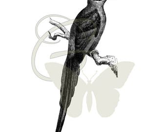Digital Bird Old Artwork Illustration Download Printable Transfer Crafting Clip Art