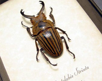 Rare Real Framed Odontolabis Striata 43mm Male Stag Beetle 8239