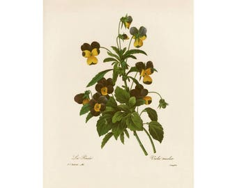 Viola Tricolor Redoute Print Book Plate SALE Buy 3, get 1 FREE (off-white background)