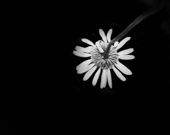 daisy photo -b & w-flower photography -flower-black and white photography (5 x 7 Original fine art photography prints) FREE Shipping)