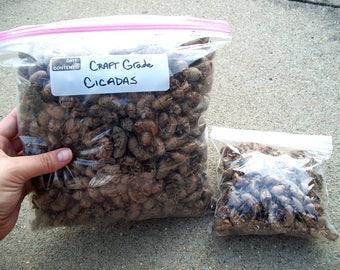 HUGE Lot of Craft Grade Cicada Exoskeletons