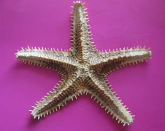"Seashells Sea Shell 6.9"" Large Saw Starfish"