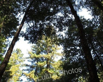 Personalized Cards, prints, California Redwood Trees in Montgomery Woods - Who's the Tallest of Them All