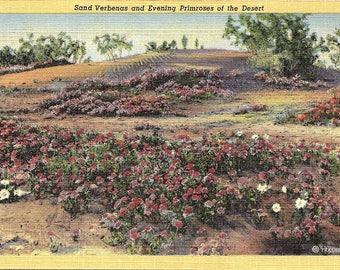 Sand Verbenas, Evening Primroses, Desert - Postcard - Vintage Postcard - Unused (TT)