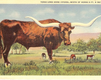 Vintage Linen Postcard...Texas, Texas Long Horn (Steer), Width of Horns 9 ft. 6 inches...Unused..no. TX0022
