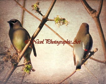 Rustic Cedar Waxwing Bird Taupe Country Decor Farmhouse Art Matted Picture A398