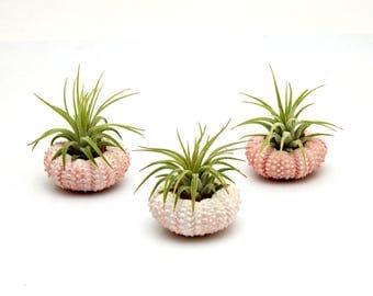 10pc Air Plant with 10 Pink Sea Urchins Lot / Wholesale Tillandsia Air Plants / Nautical Wedding Favor / Party Favor