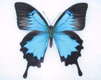 One Real Butterfly Blue Indonesian Papilio Ulysses Swallowtail