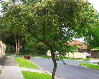 100 Washington Hawthorn Tree Seeds, Crataegus Phaenopyrum