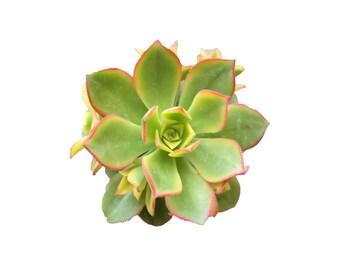 Aeonium Kiwi Succulent Plants Aeonium Haworthii Rare Succulents Succulent Aeonium Succulent Planter Succulent Flowers