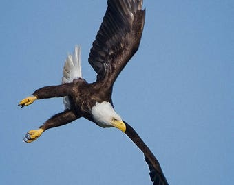 Bird Action Photo, Bald Eagle Diving, Raptor Photo's, Nature Photography, Bird Images