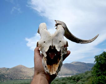 Real Ram Skull , Natural Animal Skull , Skull Mount , Gothic Decor , Pagan Voodoo Decor , Natural Ram Horn , Animal Bones , Macabre Supplies
