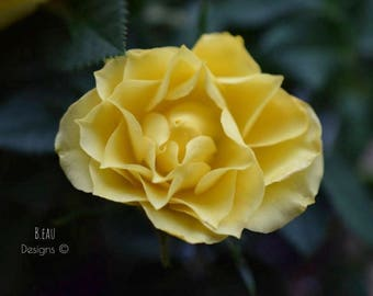 Mother's Rose - Macro Photography - Home Decor - Print - Yellow Rose - Maine Artist - Green leaves -