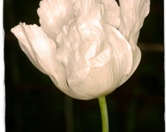 Papaver somniferum 'Raja' 300+ Seeds Poppy