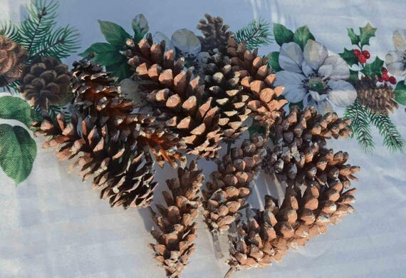 Basket Making Supplies Maine : Fresh large maine pine cones wreath making botanicals
